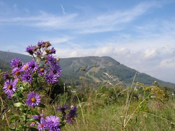 Catskill Mountain with purple flowers in foreground